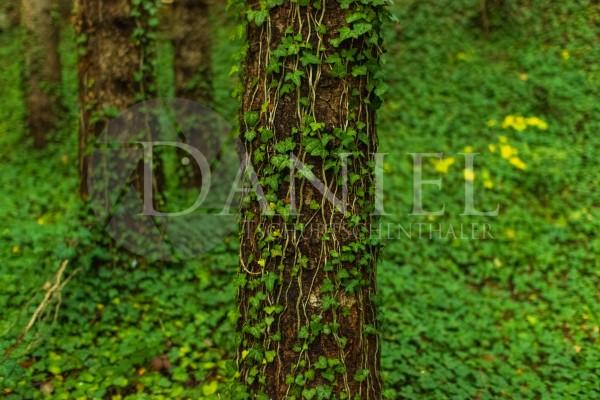 Efeu Wald